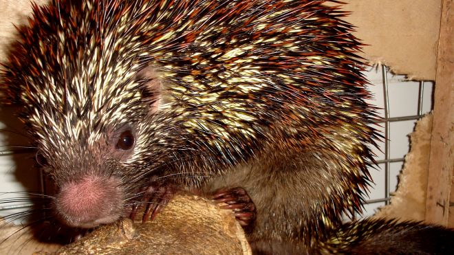 New Species Of Brazilian Porcupine Found, Has Very Cool Rubbery Nose