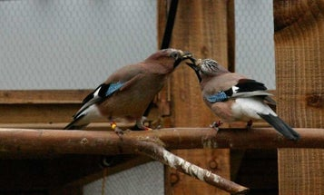 Romantic Jays Take Care To Feed Their Mates What They Particularly Crave