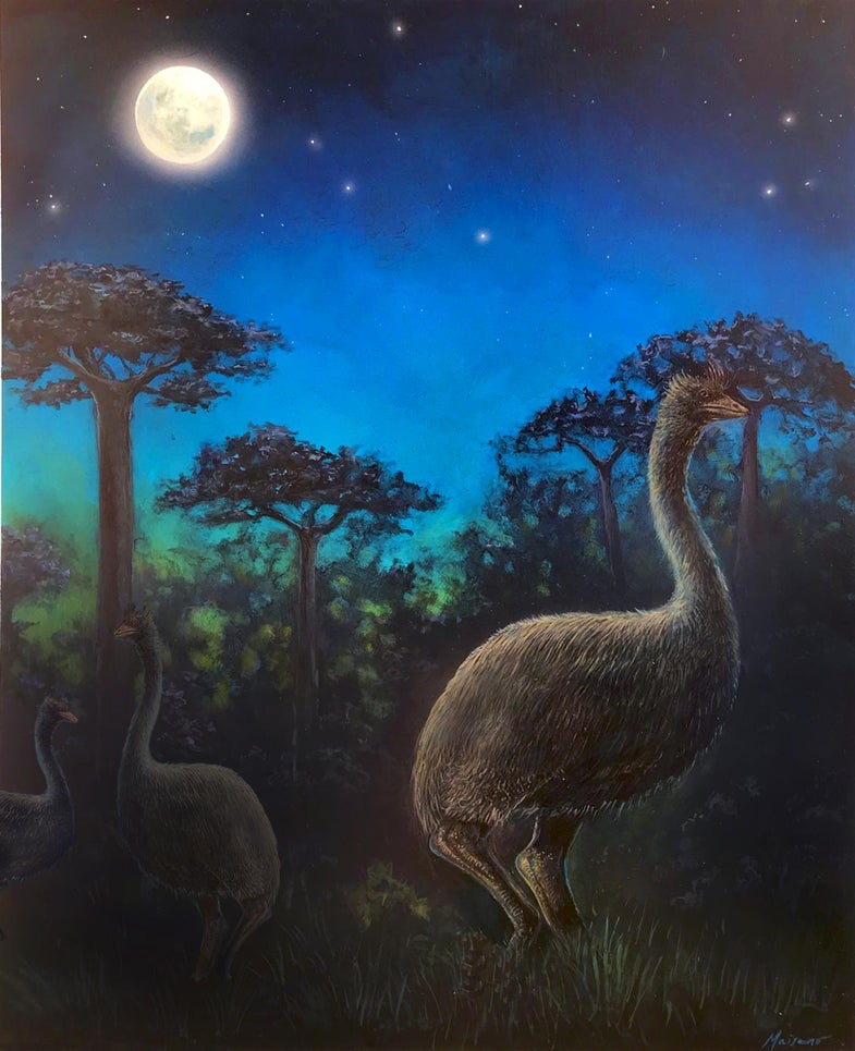 Behold the mighty elephant bird, blindly crashing through the Madagascan forest
