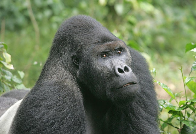 Bad News: Gorillas Are Now Critically Endangered