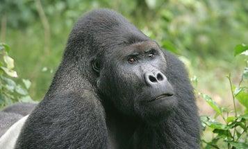 Bad News: Gorillas Are Now Critically Endangered