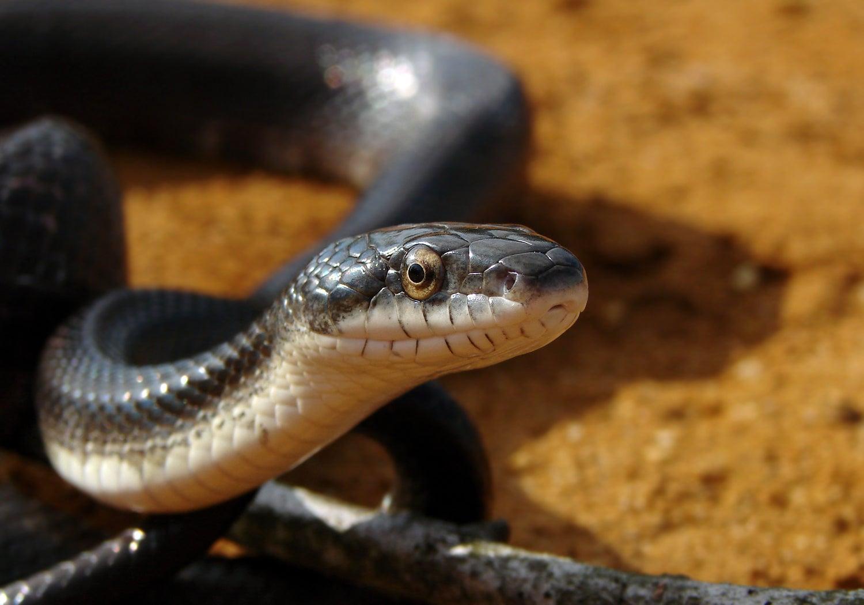 Culprit Identified In Mysterious Snake Disease Hitting The East Coast