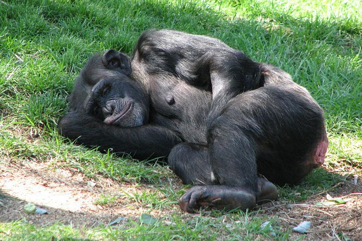 Chimps Can Catch Yawns Too