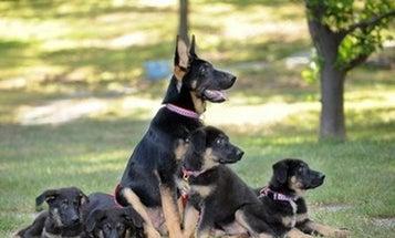 9/11 Rescue Dog Cloned