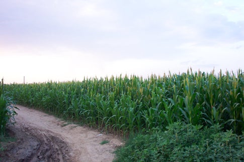 Inserting Weed Genes To Protect Crops From Global Warming