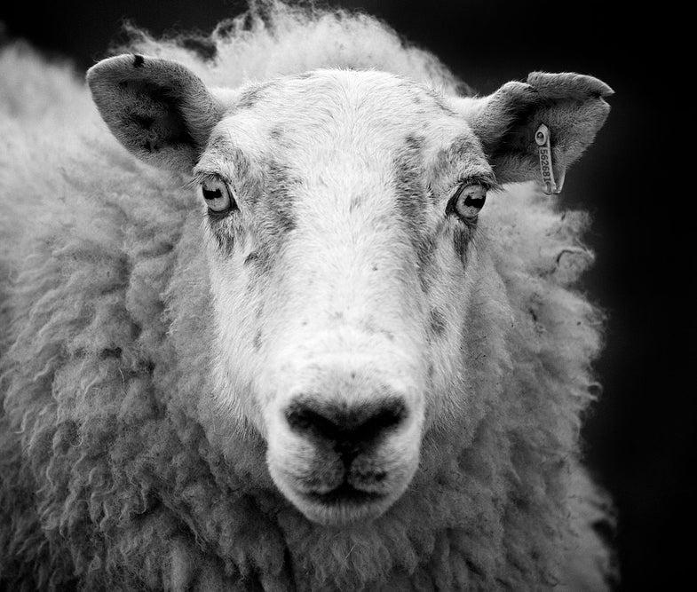 Ewe In Scotland