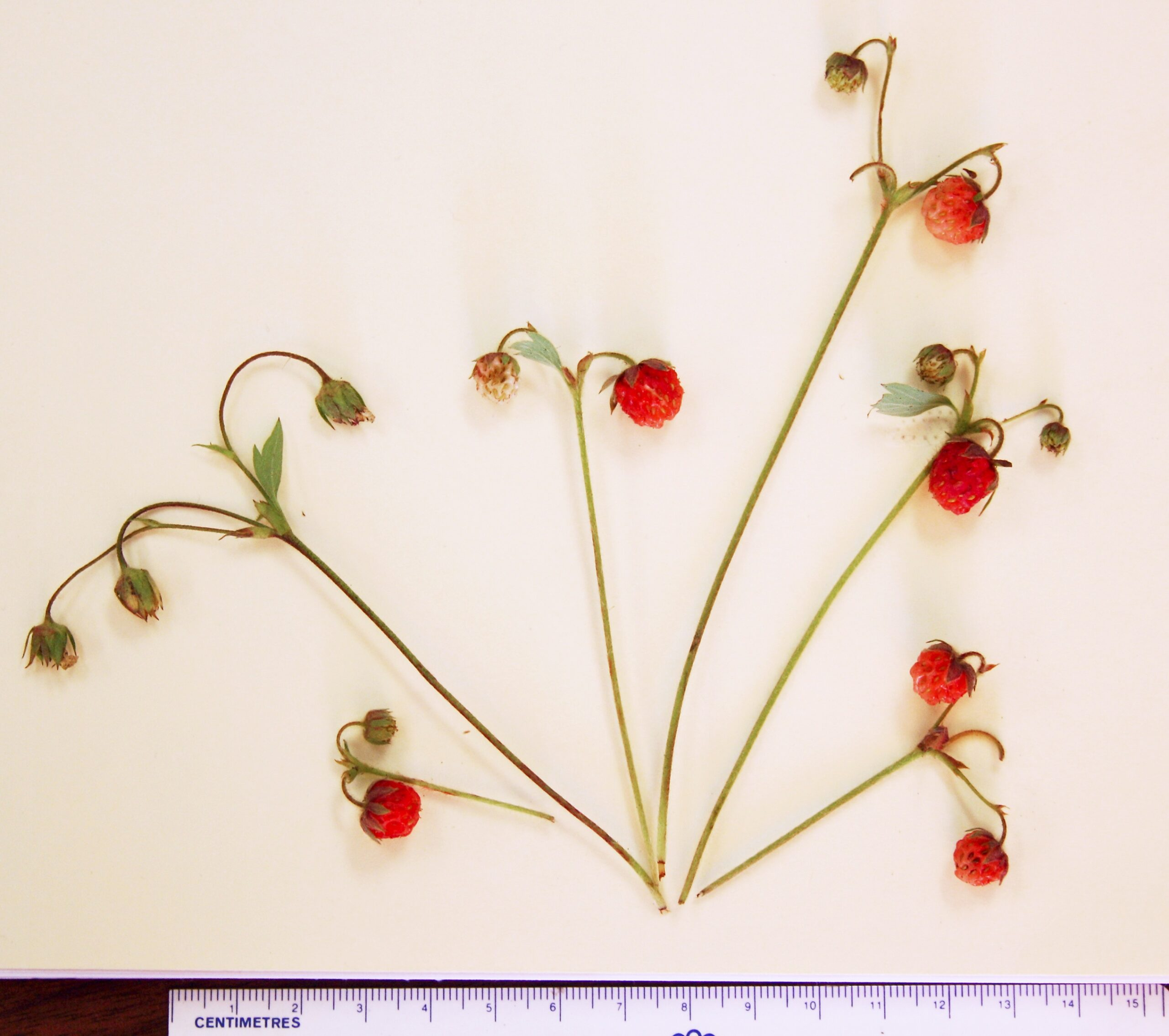 New Wild Strawberry Species Discovered