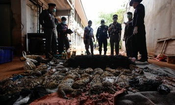 """40 Tiger Cubs Found In Freezer Of Controversial """"Tiger Temple"""" In Thailand"""