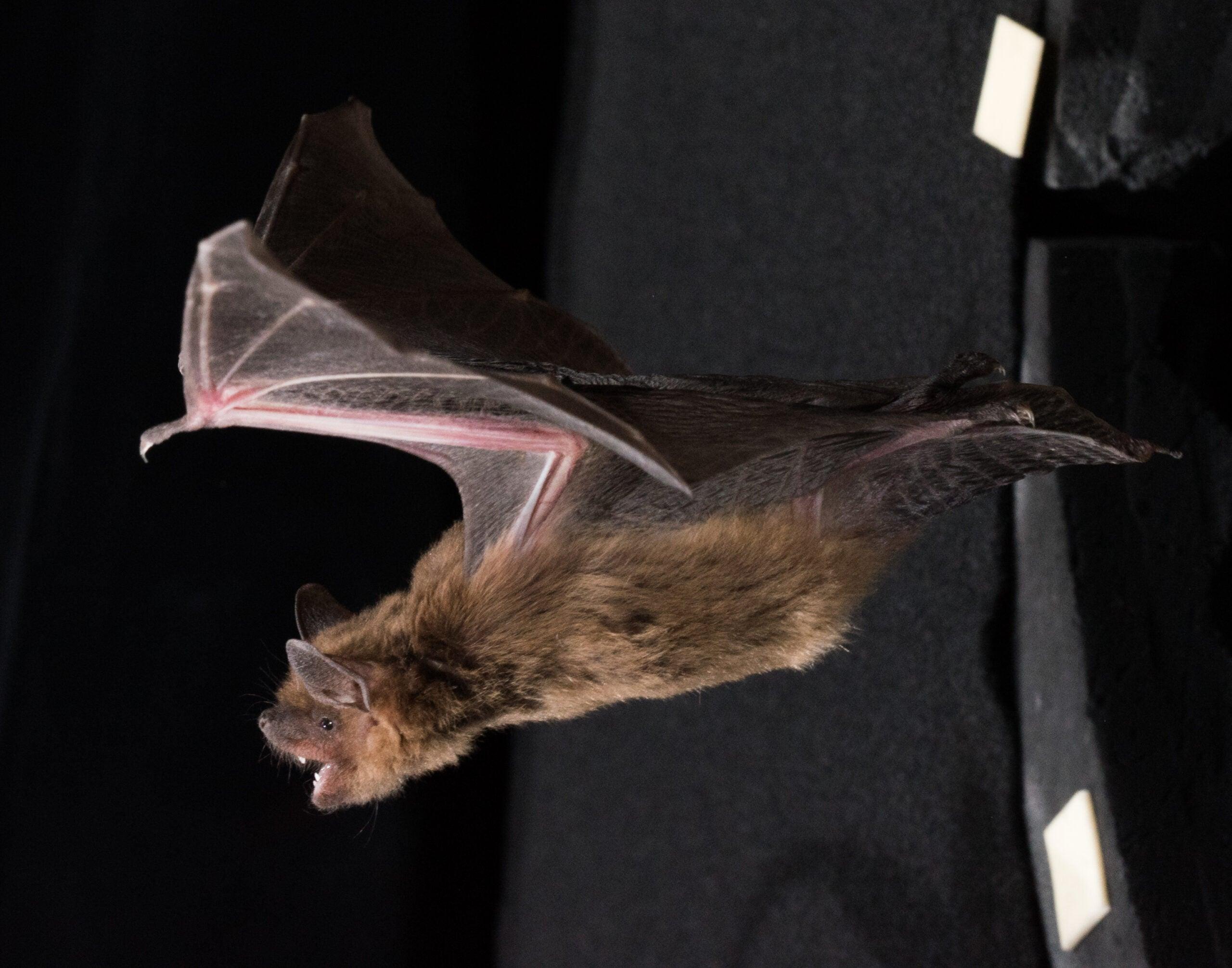 Bat echolocation could help us understand ADHD
