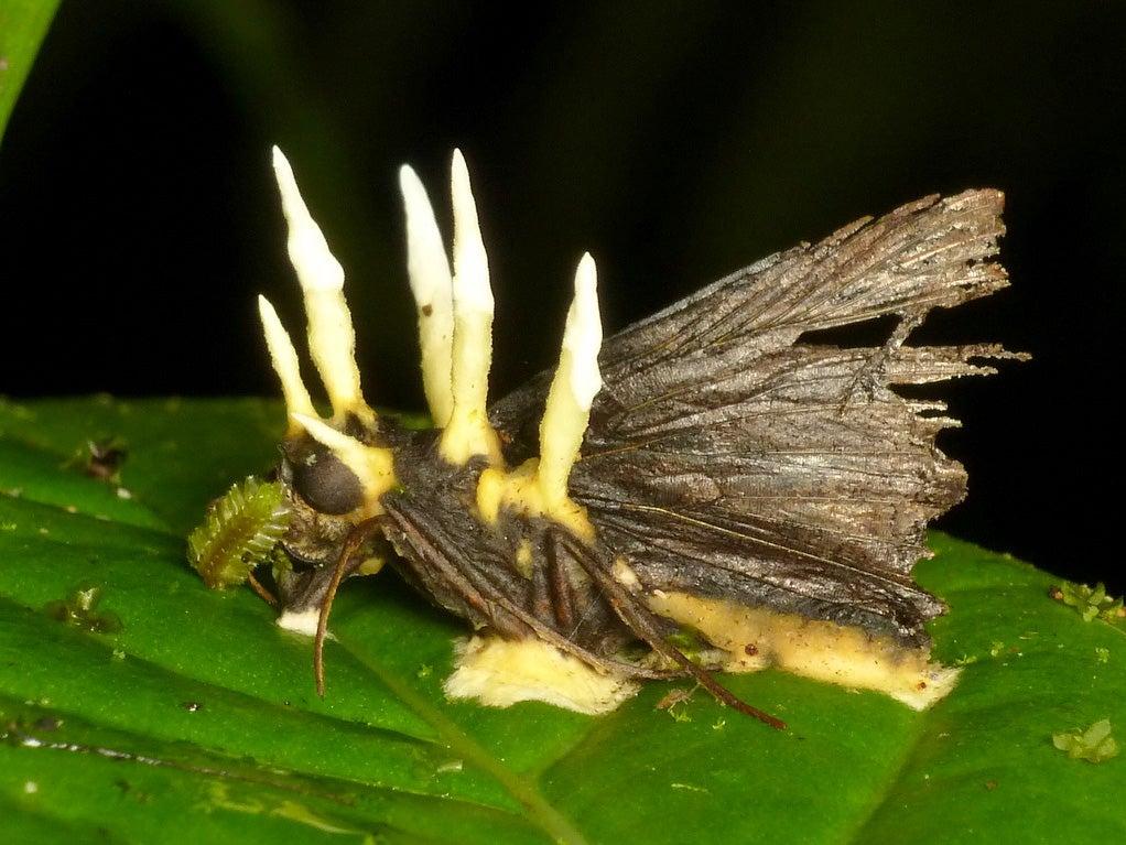 """""""Ophiocordyceps"""