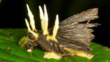 Ophiocordyceps fungus growing on moth