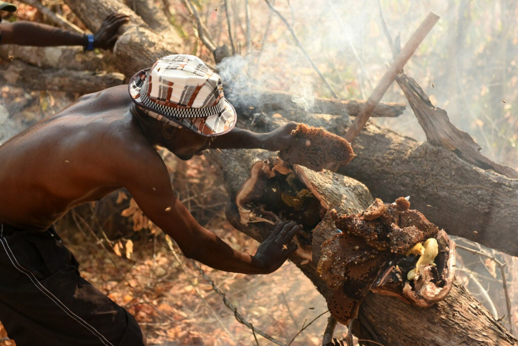 Yao honey-hunter Orlando Yassene harvests honeycombs from a wild bees' nest in the Niassa National Reserve, Mozambique.