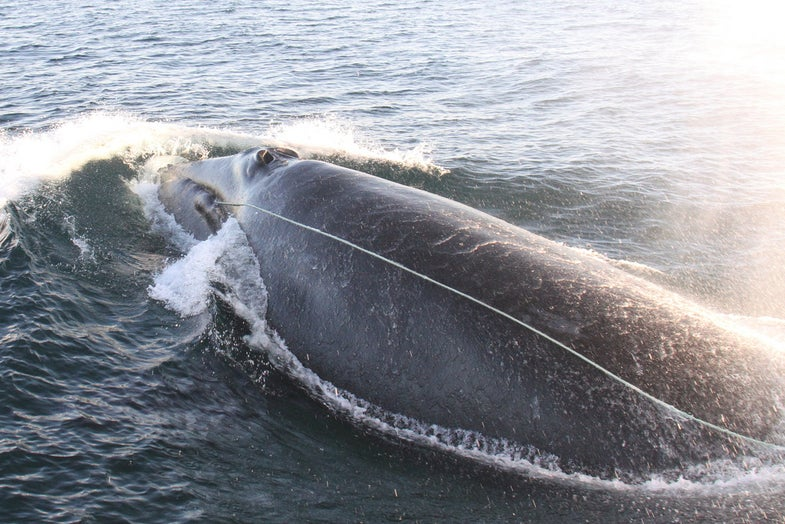 Red Ropes May Help Whales Avoid Entanglements