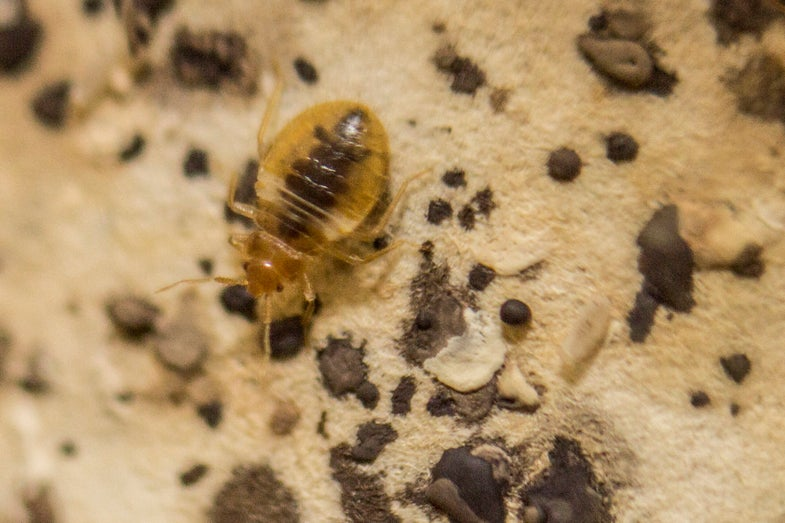 Bed Bugs And Chagas Disease: Don't Worry Quite Yet