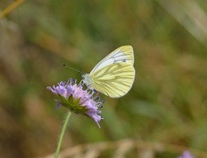 Drought Could Shrink Butterfly Species In The UK By 2050