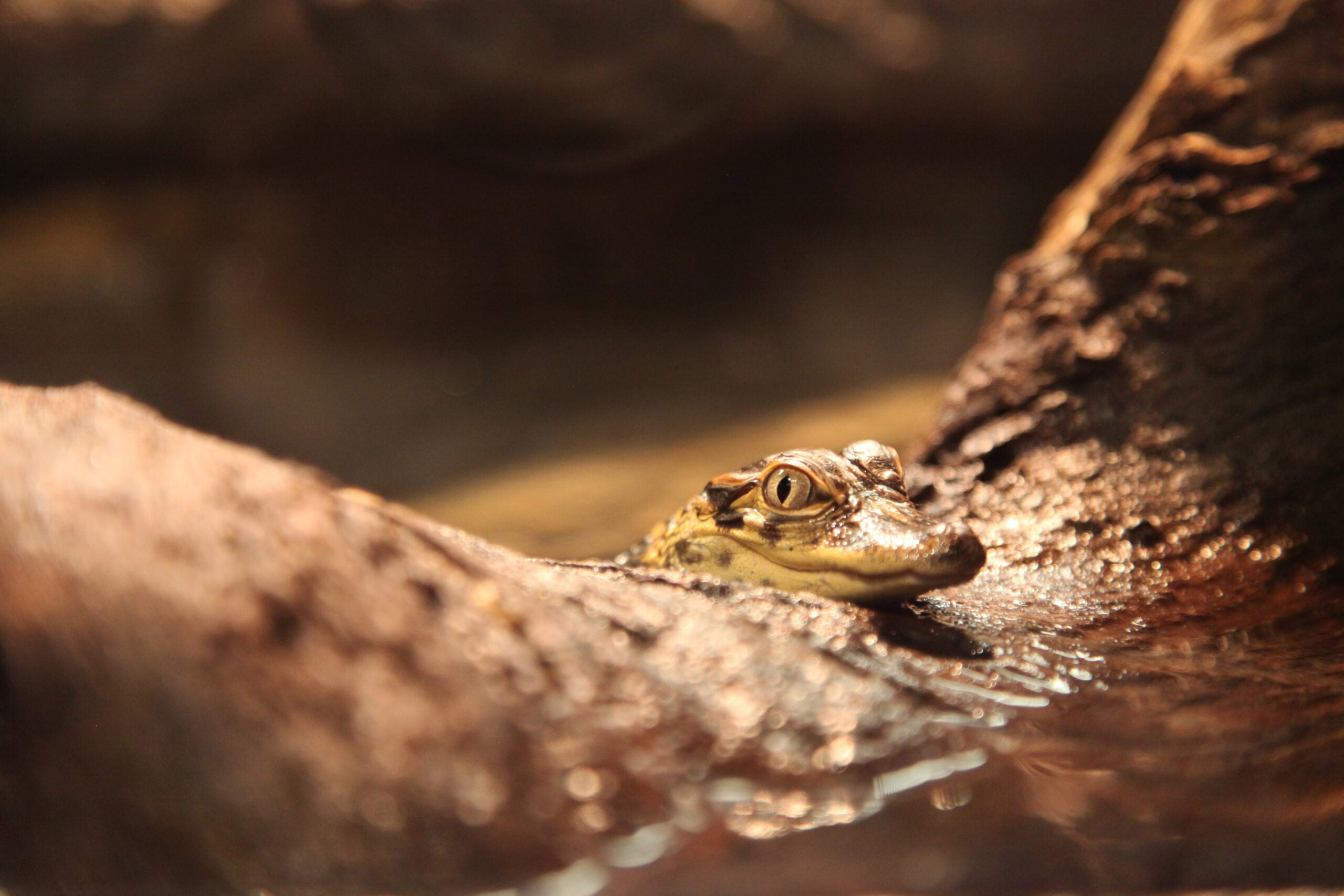Live Baby Alligators Invade Museum Of Natural History