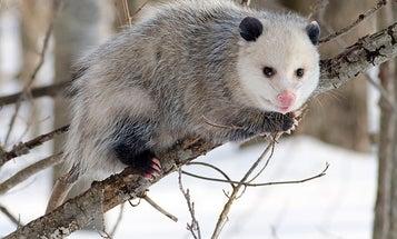 Opossum Peptides Are A Promising New Antivenom