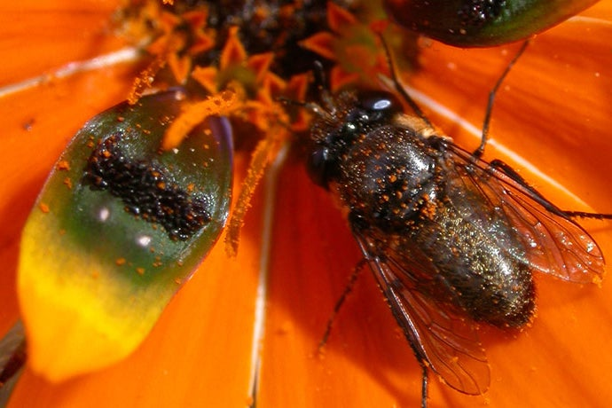 Plants Trick Flies Into Sex, Making Subsequent Relationship Awkward