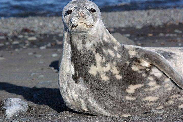A resting Weddell seal.