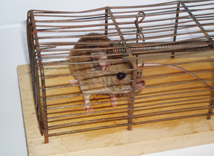 Study of Angry Mice Could Find Drugs to Prevent Pathological Rage