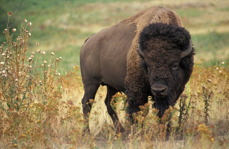 Free To Good Home: 145 Wild Bison