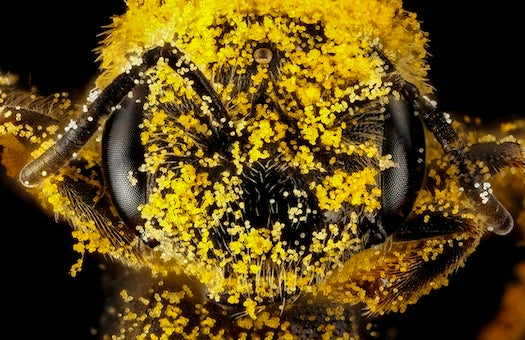 10 Spectacular Bees Native To The U.S.