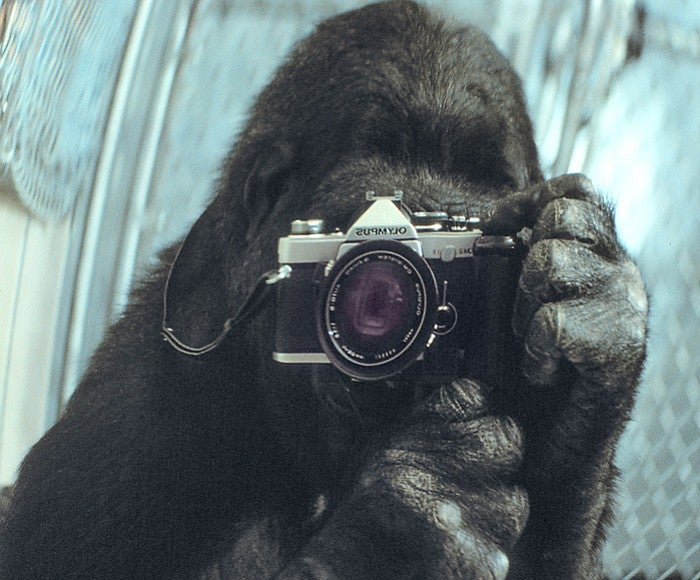 Koko taking a picture