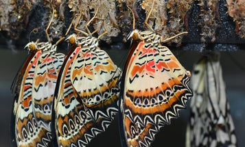 Scientists are puzzling out how butterflies assemble their brightly colored scales
