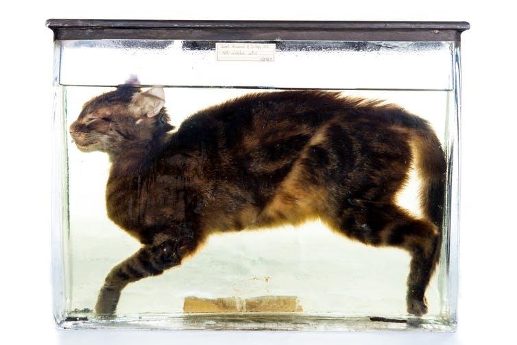 Preserved Kitten