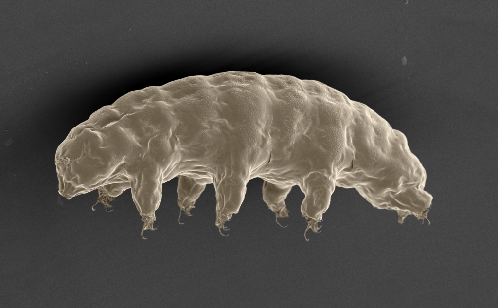 Water Bear Genome Holds Clues To Its Survival Skills