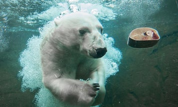Trained Polar Bears Volunteer To Give Blood For Science