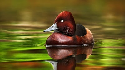 When growing their penises for the season, ducks bend to social pressure