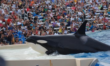 SeaWorld San Diego To Phase Out Orca Shows Next Year