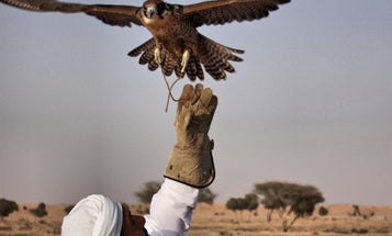Abu Dhabi Falconers Use Drones To Train Their Birds