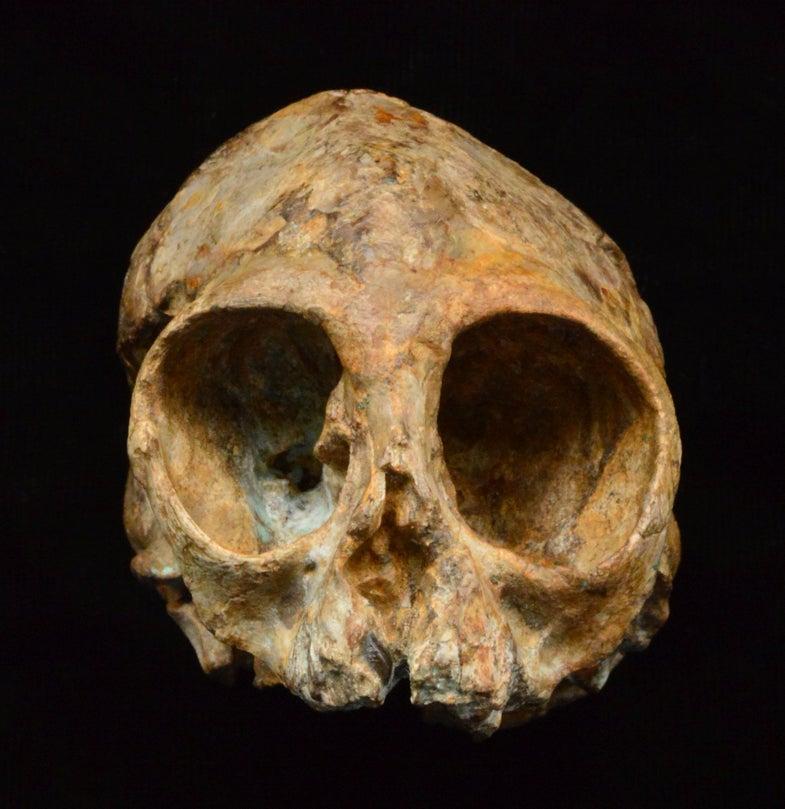 Ancient infant ape skull Nyanzapithecus alesi
