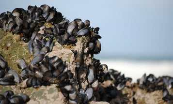 Mussels Inspire A Glue That Works Underwater