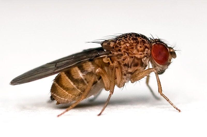 Fruit Flies Boost STI Immunity Before Sex