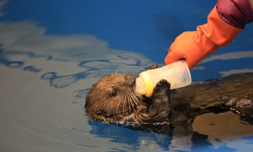 Video: Mishka The Asthmatic Otter Learns To Use An Inhaler