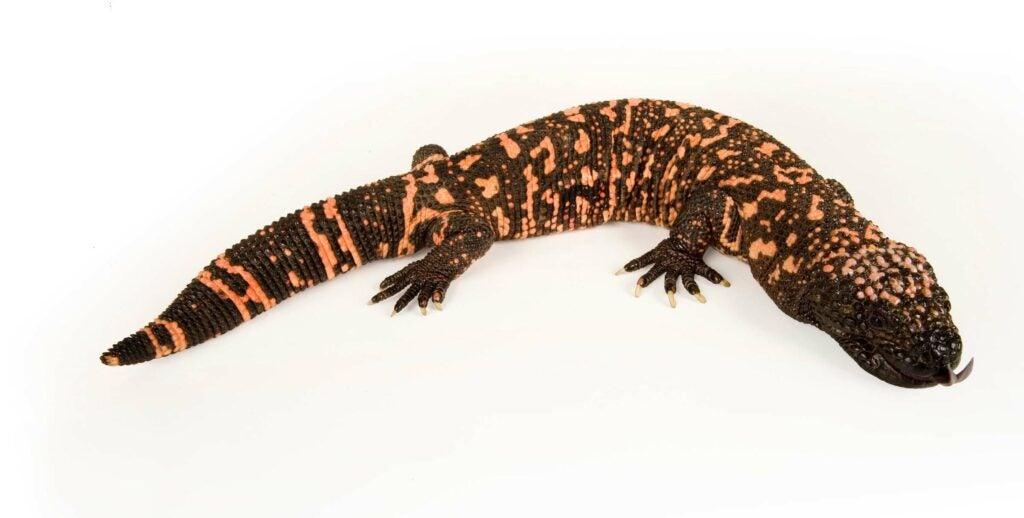 """""""salamander"""""""