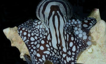 World's Sexiest Octopus Ostracized By Biologists