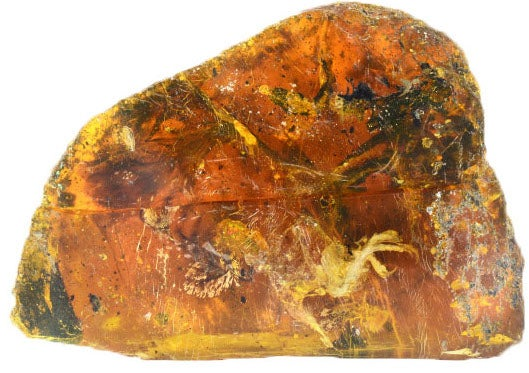 amber bird