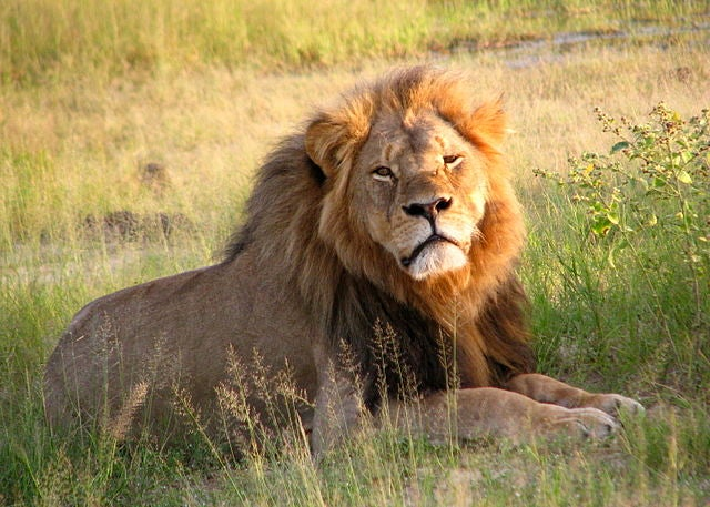 Cecil the Lion's infamous death didn't actually do much to change trophy-hunting laws