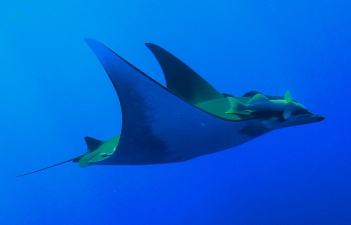 Devil Rays Dive Over A Mile Deep