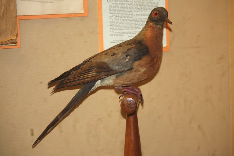 The Last Passenger Pigeon Died 100 Years Ago Today