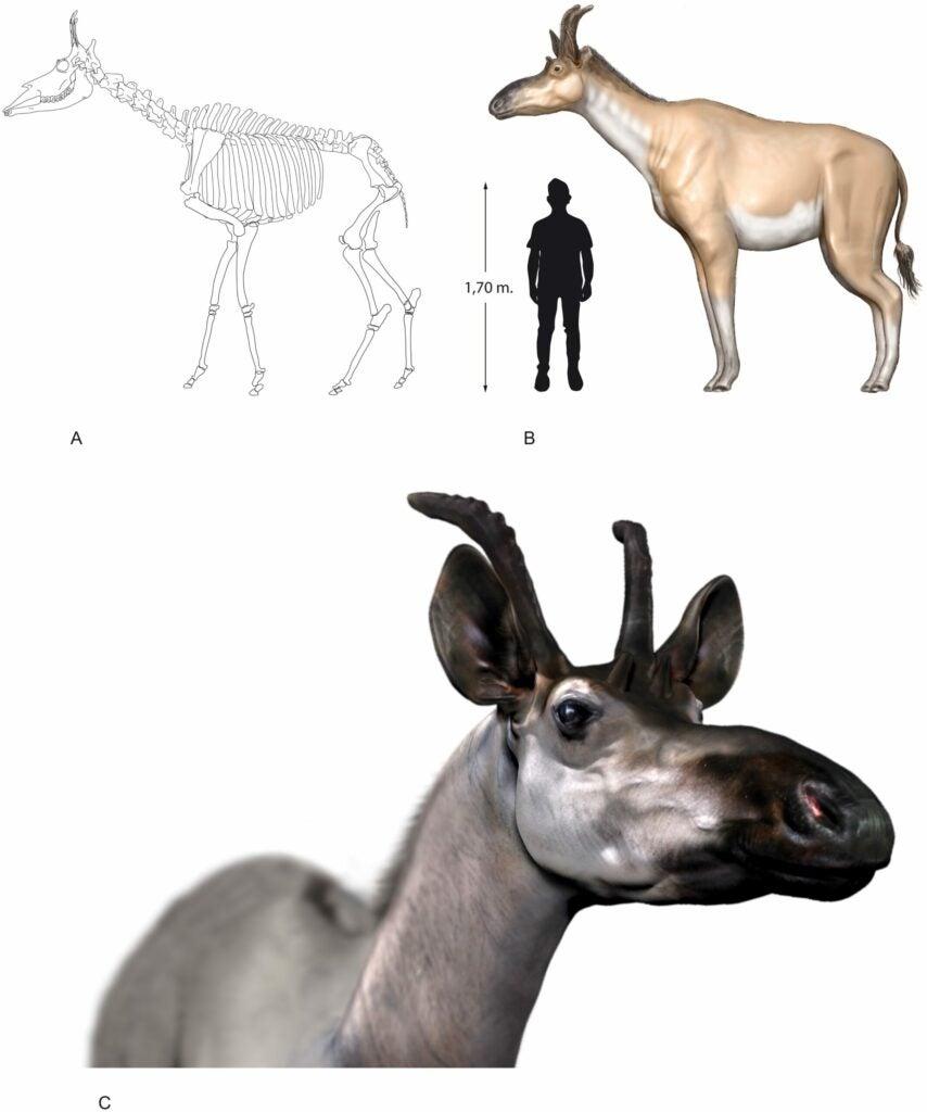 giraffid Decennatherium rex