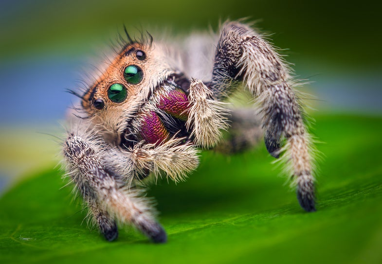 Scientists taught a spider how to jump so they can one day do the same for robots