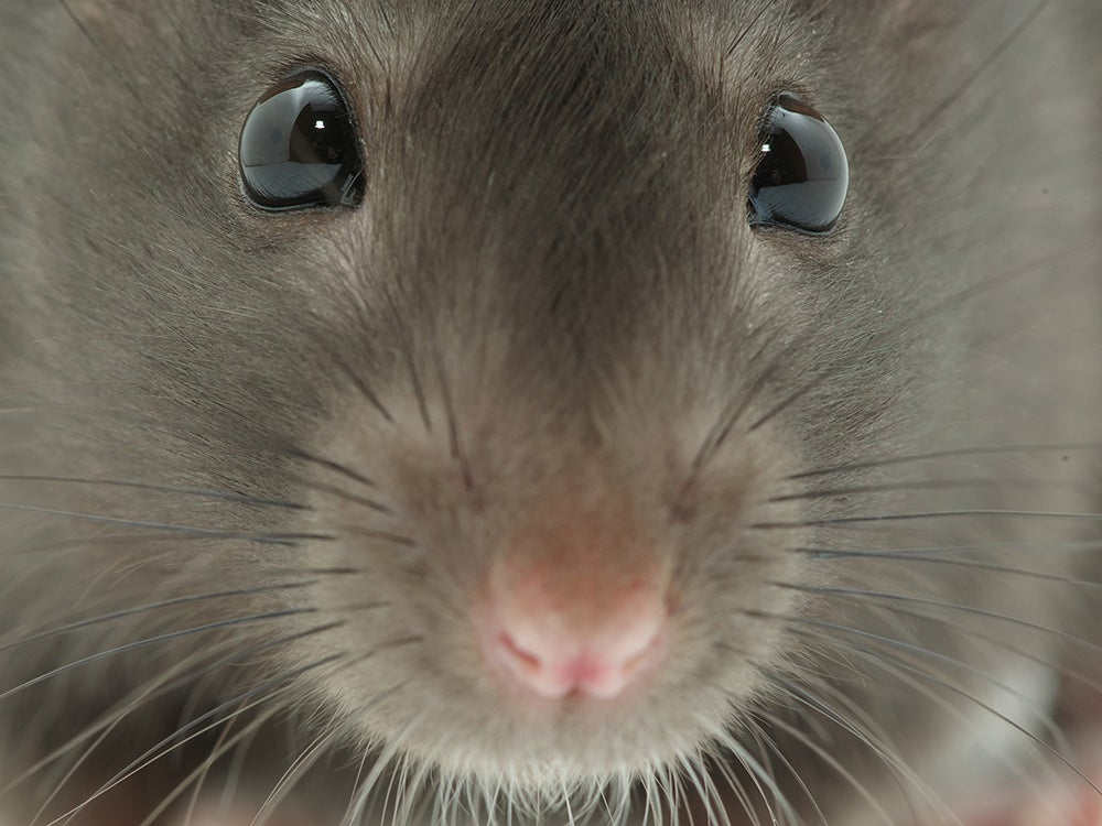 Rats can't puke, which is bad news for them and great news for us