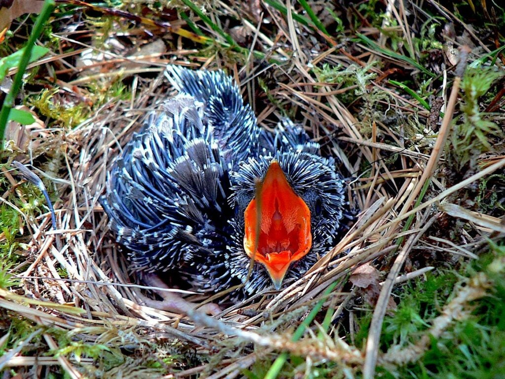 A cuckoo chick in nest of tree pipit.