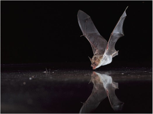 Video: Echolocation Tricks Bats Into Trying to Drink from Sheets of Metal