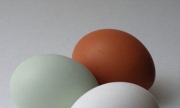 Find A Blue Chicken Egg? Congrats, Your Chicken Has A Virus